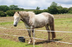 Irish Draught Horse. Irish Draught dabble grey horse standing in a field Royalty Free Stock Photo