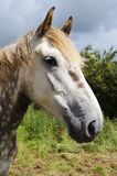Irish Draught Horse. Head shot of Irish Draught dabble grey horse in a field Royalty Free Stock Photography