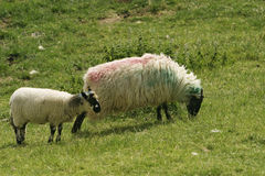 Irish Ewe and Lamb Royalty Free Stock Image