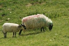 Irish Ewe and Lamb Royalty Free Stock Image