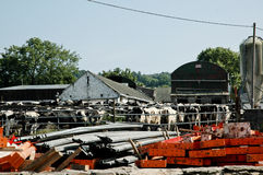 Irish farm. Irish cows in farm, dirty place Royalty Free Stock Photo
