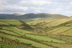 Irish farmland. Flock of sheep and cows walking down and up the hills Stock Images