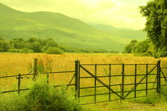 Irish farmland, kerry county. Flock of sheep and cows walking down and up the hills Stock Photos
