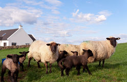 Irish flock of sheep Royalty Free Stock Photo
