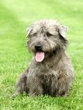 Irish Glen of Imaal Terrier Royalty Free Stock Photography