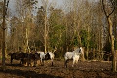 Irish Gypsy Vanner horses standing in a muddy field while restin. G on sunny winter day Royalty Free Stock Photo
