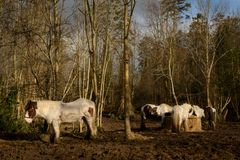 Irish Gypsy Vanner horses standing in a muddy field while restin. G on sunny winter day Royalty Free Stock Images