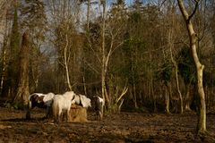 Irish Gypsy Vanner horses standing in a muddy field while restin. G on sunny winter day Stock Photography