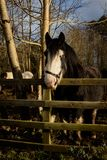 Irish Gypsy Vanner horses standing in a muddy field while restin. G on sunny winter day Stock Image