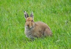 Irish hare Stock Photography