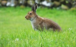 Irish hare. In a field of green grass with a stone wall in background stock photography
