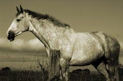 Irish Ho4rse. Irish Horse, Sepia Royalty Free Stock Photos