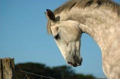 Irish Horse. In a field ona sunny day Stock Photography