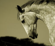 Irish Horse. Sepia Royalty Free Stock Images