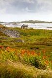 Irish Horse On Pasture Royalty Free Stock Photography