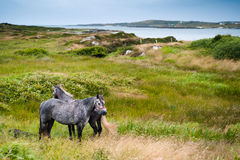 Irish horses. Irish grey horses on green grass near the ocean Royalty Free Stock Photography