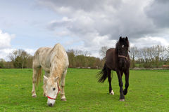 Irish horses. On idyllic grassy meadow Stock Photo