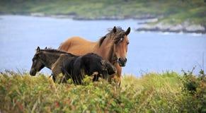 Irish horses in Connemara mountains Royalty Free Stock Photo