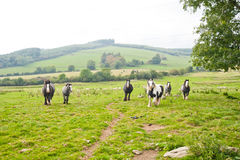 Irish horses in field, Wicklow Mountains, Ireland. Irish horses galloping in green field of Wicklow Mountains, Ireland Royalty Free Stock Photos