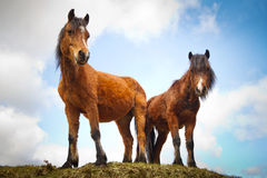 Irish horses on the hill Stock Image