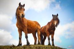 Irish horses on the hill. In Connemara, Ireland Stock Image