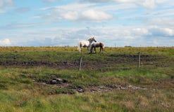 Irish horses near Kilkee. In county Clare in Ireland Stock Photo