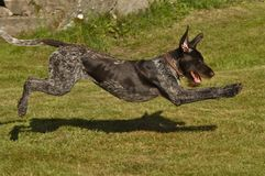 A Irish hunting dog in action Royalty Free Stock Photos