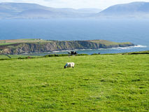 Irish impression. View from the Dingle Peninsula to the Iveragh peninsula with green grass, a blue ridge and a clear blue sky with grazing animals Stock Image