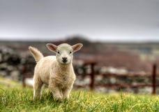 Irish lamb stock photos