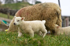 Irish lamb on the farm Stock Photo