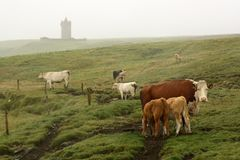 Irish landscape close Doolin village. An Irish landscape with cows grazing and an ancient tower in the background Stock Image