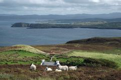 Irish landscape with sheep. The picture shows a typical green Irish grassland scenery with a flock of sheep in front of a cottage in the sunny foreground and a Stock Photo