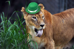 Irish Leprechaun Lion. Stock Images