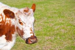 Irish Moiled Cow Stock Photos