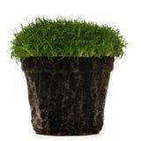 Irish moss Royalty Free Stock Photos