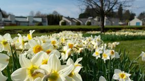 Irish narcissus Royalty Free Stock Image