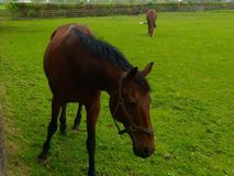 Irish National Stud and Garden, Danesfort, Kildare and Kilkenny. Horse, grass, mares stock photo