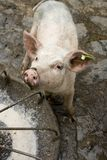 Irish Oink. Irish pig in farmyard by feeding trough Royalty Free Stock Image