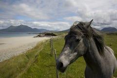 Irish Pony. Connemara Pony with scenery in background, connemara, ireland Stock Photography