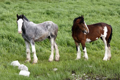 Irish ponys. Two irish ponys standing on a green field Royalty Free Stock Photos
