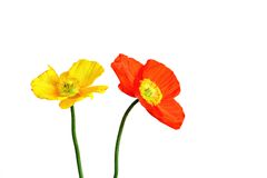 Irish poppies. Yellow and orange irish poppy blossoms, white background royalty free stock photography