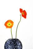 Irish poppies in a vase. Two irish poppies, red and orange, in a black round vase with white spots royalty free stock photos