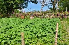 Irish potato garden. At Molly's Old Tearoom farm royalty free stock image