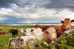 Irish rainbow cows. Beautiful Irish landscape with cows in the meadow and a rainbow in the background Royalty Free Stock Image