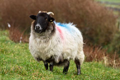 Irish ram stock photos