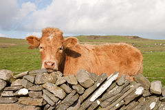 Irish red cow on meadow. Irish red cow on meadow at the fence of stones Stock Photos