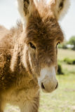 Irish red donkey Royalty Free Stock Photography