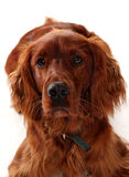 Irish Red Setter Royalty Free Stock Photos
