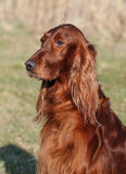 Cute dog. Cute Irish Red Setter dog head Stock Images