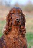 Irish Red Setter Stock Images